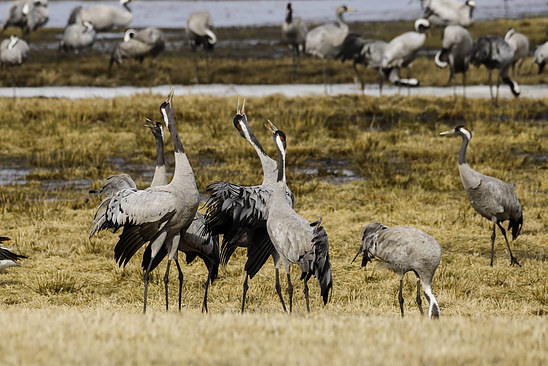 Cranes dancing at Hornborgasjön