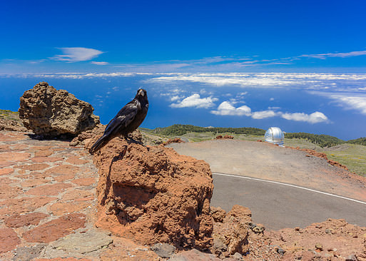 Carmelo the crow on the top of La Palma island, Canaries