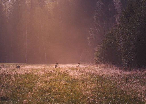 Deer on a field in the autumn light